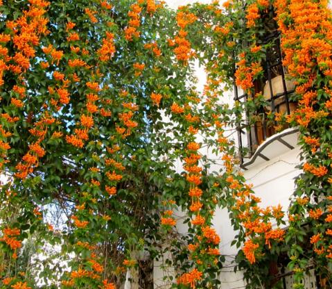 Cây hoa rạng đông với những chùm hoa rực rỡ