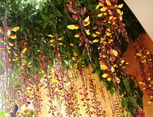 Cây móng cọp với hoa lạ mắt