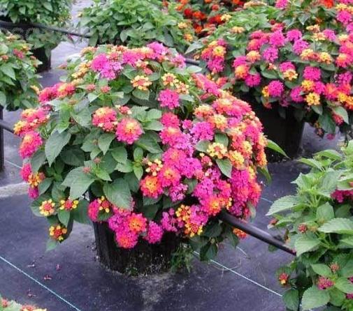 Những bông hoa ngũ sắc mềm mại