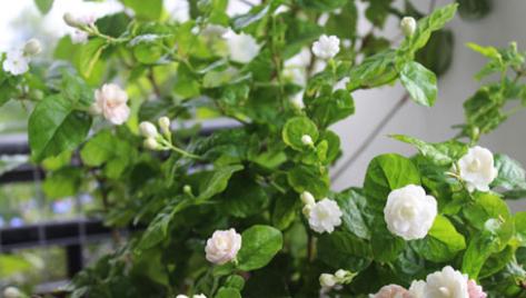Bông hoa Nhài mỏng manh