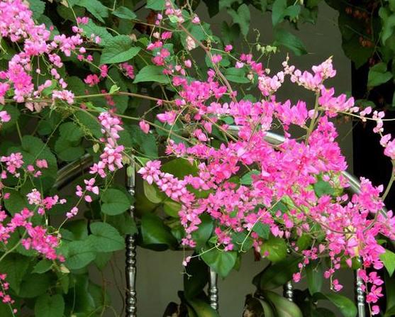 Những bông hoa tigon nhỏ xinh xinh