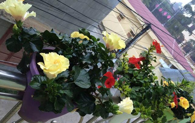 Cây hoa râm bụt với màu sắc nổi bật