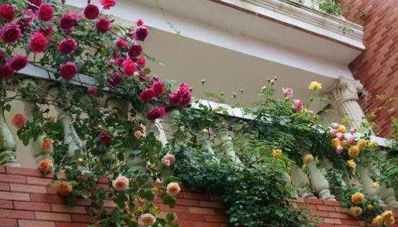 Cây hoa Hồng leo trồng ở ban công nhiều nắng
