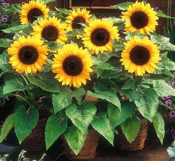 Hoa hướng dương (hoa của mặt trời)