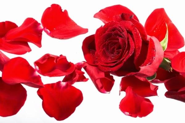 HInh anh canh hoa hong 1