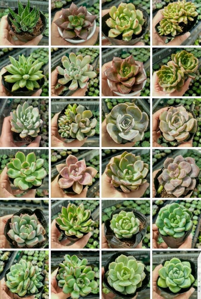 Sen đá đa dạng