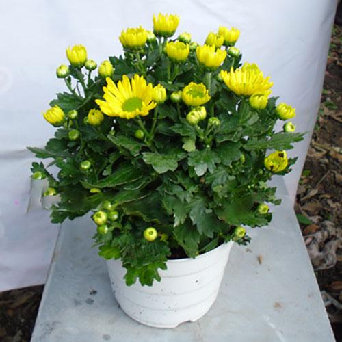HÌnh ảnh: Cây hoa cúc vàng