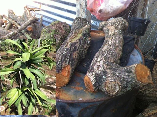 Lan trồng trên gỗ ngâm phân Dơi