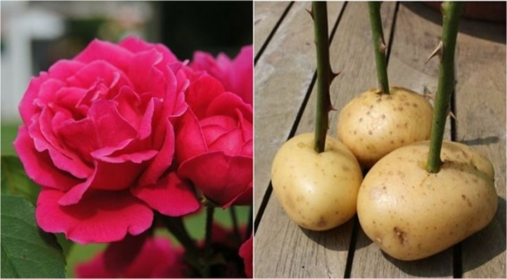 Trồng hoa hồng bằng củ khoai tây
