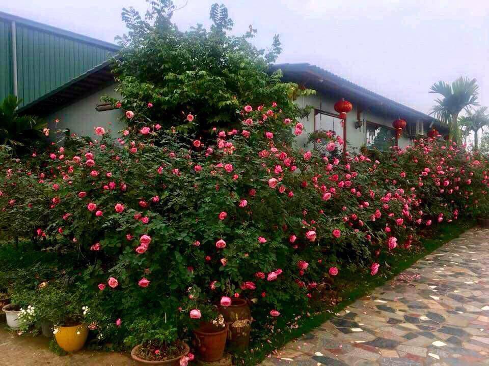 Vườn Hồng tươi đẹp hơn nhờ biết chăm sóc tốt