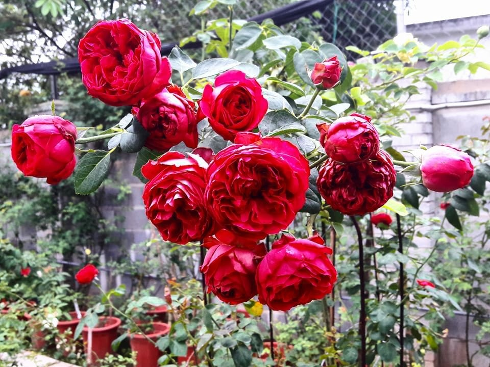 Vẻ đẹp kiêu sa của hoa Hồng