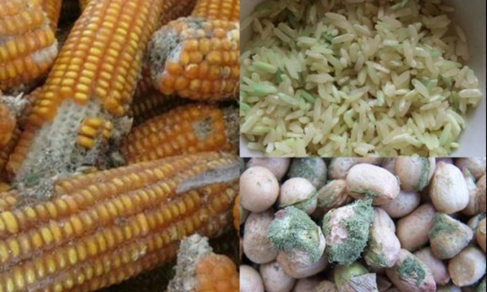 nấm mốc trên ngô và hạt chứa độc tố nguy hiểm