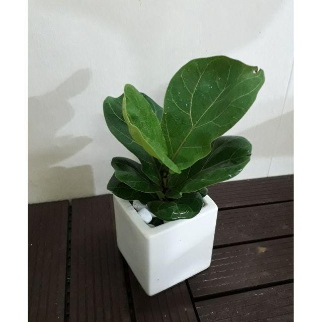 Cây Bàng Singapore cũng là loại cây giúp lọc sạch không khí
