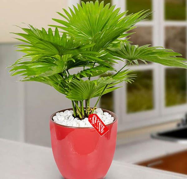 Cây cọ Nhật thích hợp dùng để đặt trong văn phòng