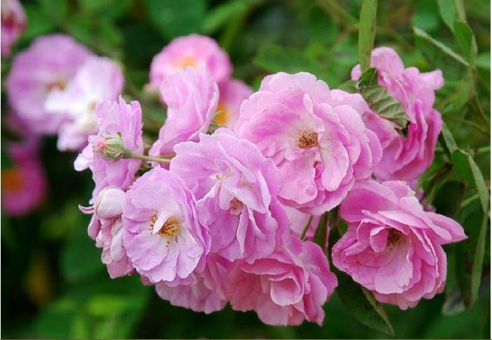 Cây hồng quế