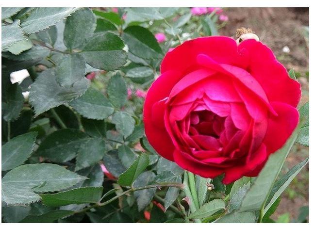 Hồng quế son cổ thơm hay còn gọi là hồng cổ Huế