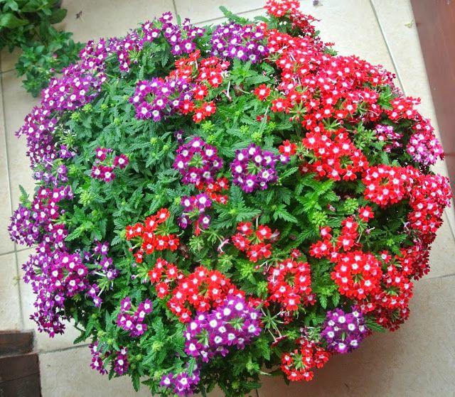 Hoa cúc nữ hoàng với nhiều màu sắc bắt mắt