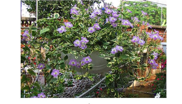 Hoa cẩm thạch tím có hoa rất xinh