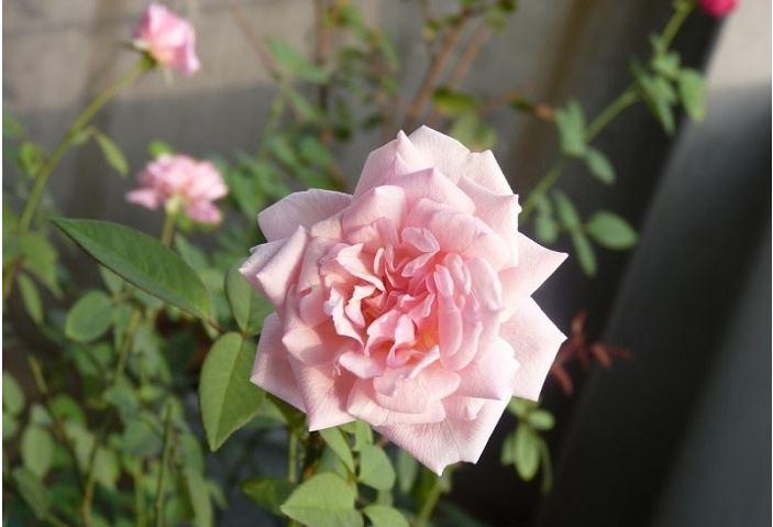Hoa hồng đào cổ dễ trồng và chăm sóc