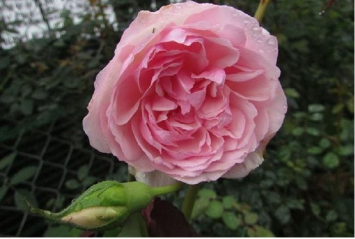 Hoa hồng điều cổ