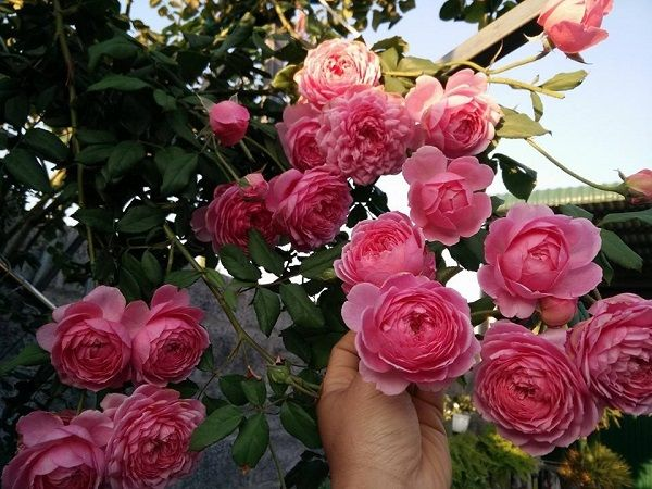 Hoa hồng leo có 4 màu sắc ưa thích khiến ban công nhà bạn trở nên xinh xắn
