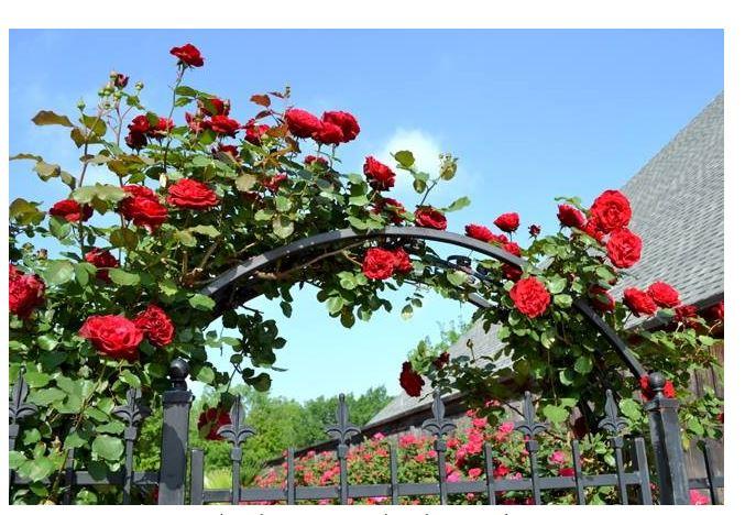 Hoa hồng leo cổ Hải Phòng được trồng để trang trí cửa nhà