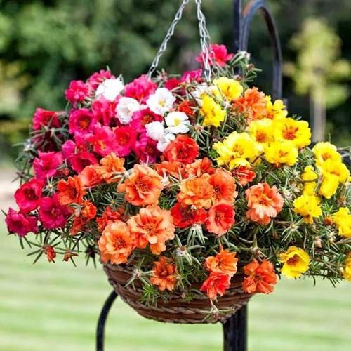 Hoa mười giờ rất dễ trồng lại có nhiều màu sắc đẹp