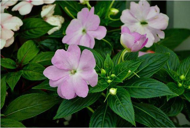 Hoa mai địa thảo rất thích hợp trồng ở ban công