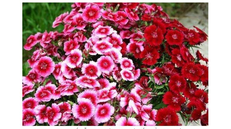 Hoa phăng mang lại sự bình yên hạnh phúc