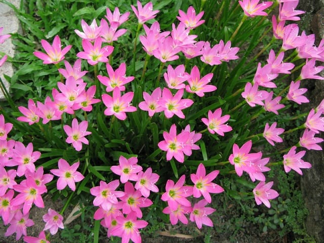 Hoa thủy tiên là loài hoa đẹp rất đáng trồng