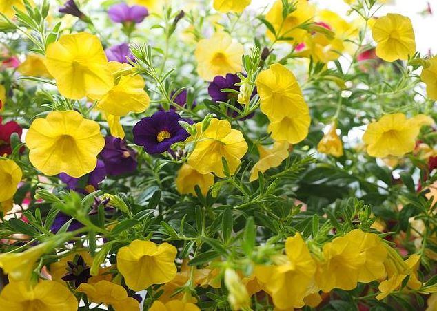Hoa triệu chuông với sắc vàng rực rỡ