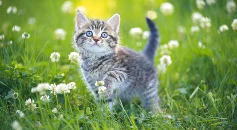 Nuôi quàng thượng trong nhà là một niềm vui vô tận với những ai yêu mèo