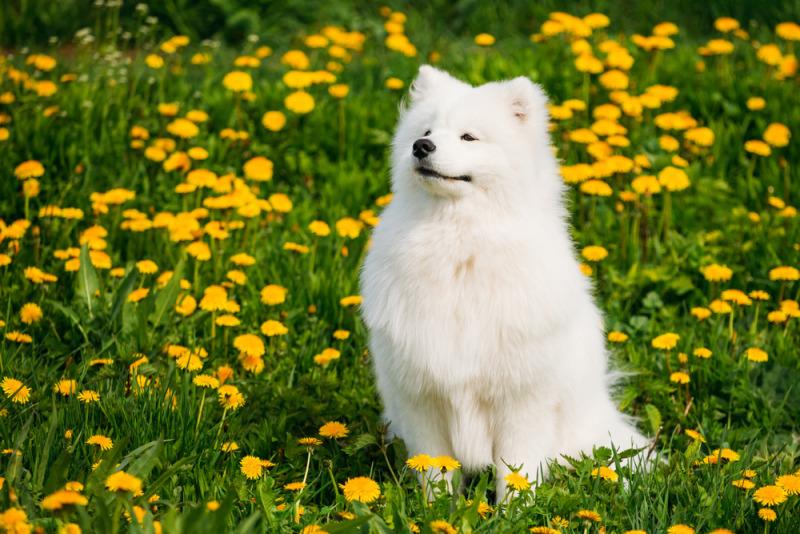 chó Sam xinh đẹp trên cỏ xanh