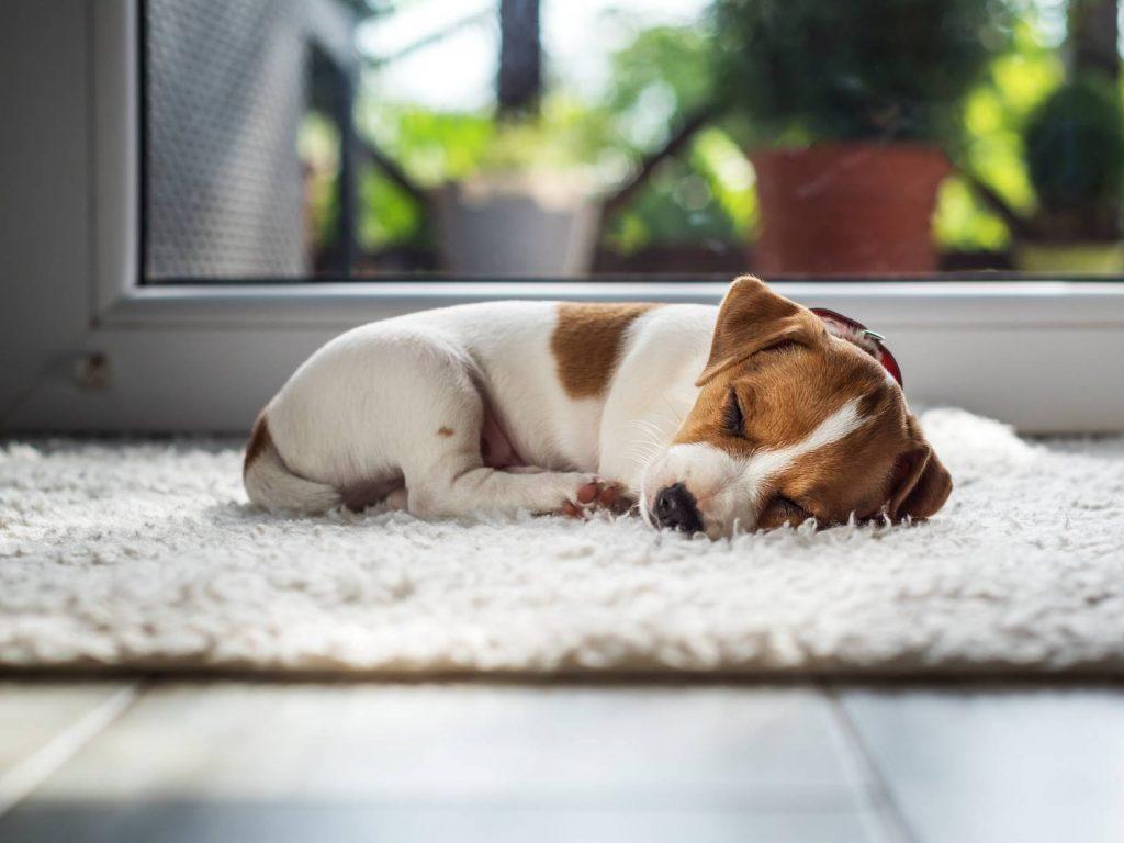 cún đang ngủ