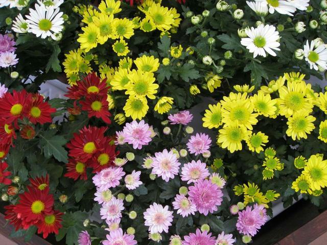 Hoa cúc tết