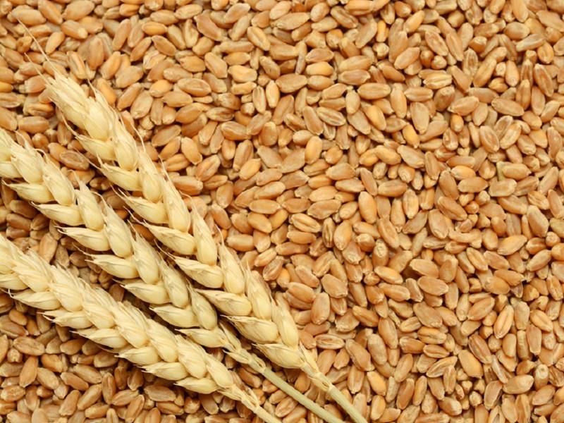 Lúa mì giàu choline giúp làm tăng trí nhớ