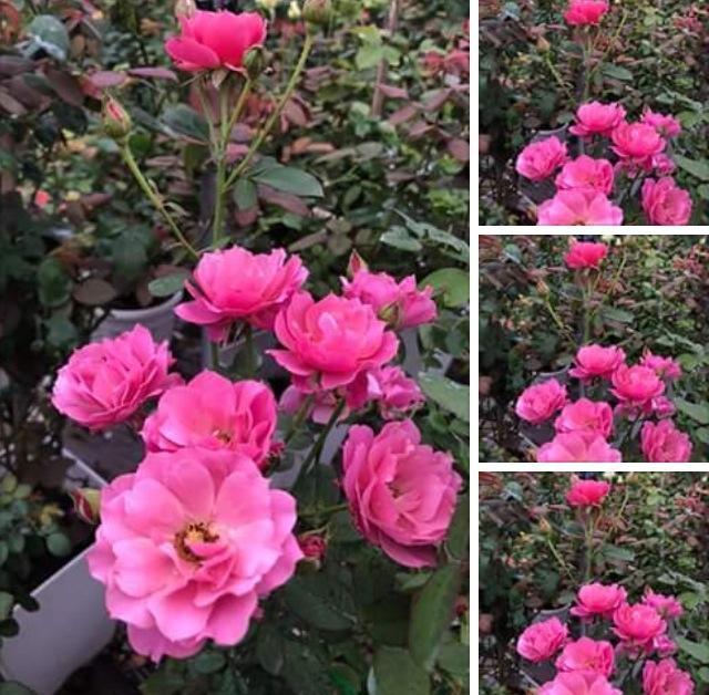 Hoa hồng ngoại Aoi