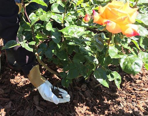 phân gà hữu cơ cho hoa hồng