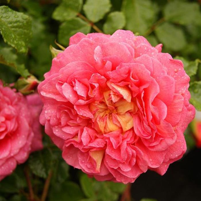 Hoa hồng christopher marlow cam đỏ hồng