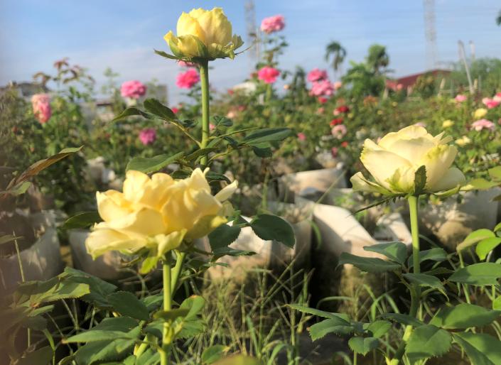 Hoa hồng vườn Lãm Hà 2