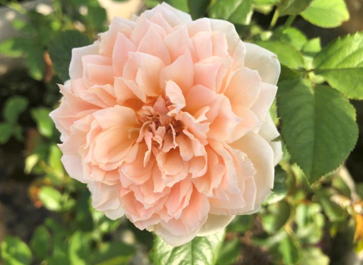 Hoa hồng vườn Lãm Hà 3