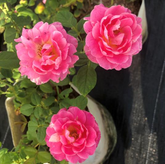 Hoa hồng vườn Lãm Hà 4